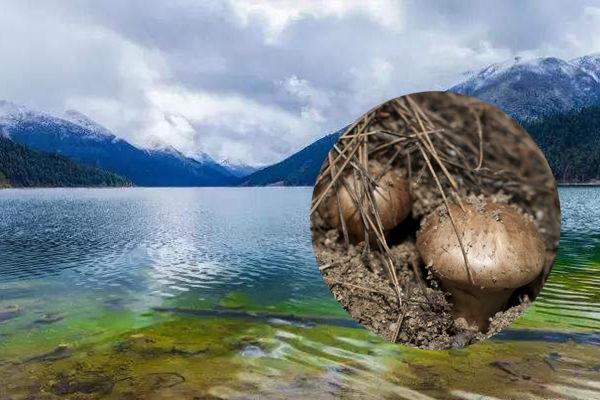 西藏松茸产地-西藏林芝松茸[年产量300吨]