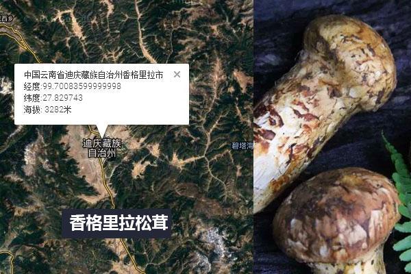 云南香格里拉松茸和四川小金松茸的区别,哪个好