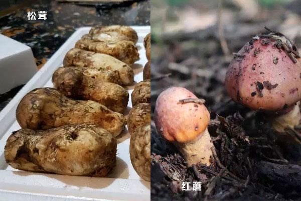松茸和红蘑一样吗,松茸和大脚菇的区别