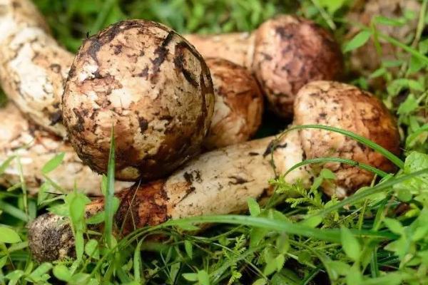 黑龙江产松茸的地方在哪里,松茸泡多久就不能吃了